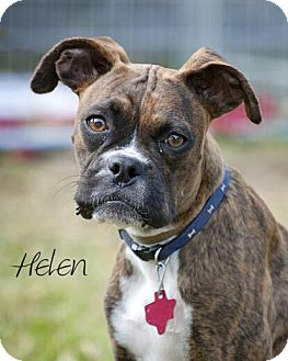 boxer and boston terrier mix henry helen adopted dog houston tx boxer boston 1655