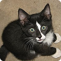 Domestic Shorthair Cat for adoption in Fairbury, Nebraska - Nico