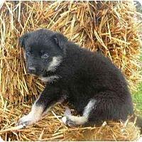 Adopt A Pet :: Nitro - Rigaud, QC