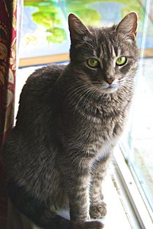 Domestic Shorthair Cat for adoption in Baton Rouge, Louisiana - Lily