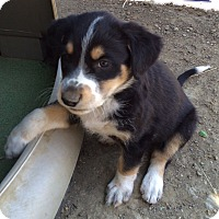 Adopt A Pet :: Puppy 1 - Temecula, CA