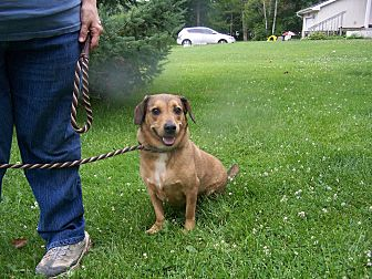 Dachshund/Basset Hound Mix Dog for adoption in Lake Orion, Michigan - Thumper