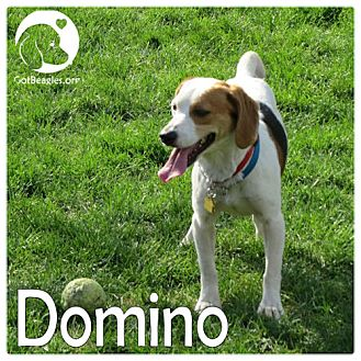 Beagle Mix Dog for adoption in Chicago, Illinois - Domino