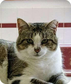 Domestic Shorthair Cat for adoption in Manitowoc, Wisconsin - Sox