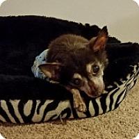 Adopt A Pet :: LADYBUG - Albany, NY