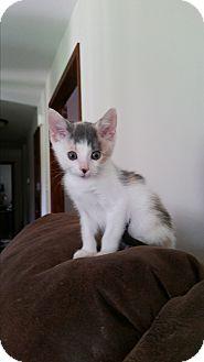 Domestic Shorthair Kitten for adoption in Jefferson City, Missouri - Callie