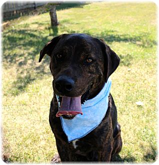 Mastiff/Newfoundland Mix Dog for adoption in Welland, Ontario - Ben