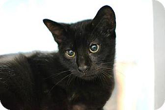 Domestic Shorthair Kitten for adoption in New Orleans, Louisiana - Sherlock