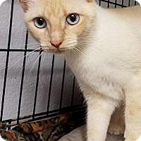Siamese Cat for adoption in Yukon, Oklahoma - Eclipse