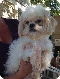 Pekingese/Poodle (Miniature) Mix Dog for adoption in Temecula, California - Petey