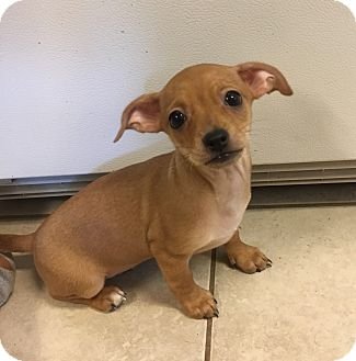 Chihuahua Mix Puppy for adoption in Fort Collins, Colorado - Dolce (DENVER)