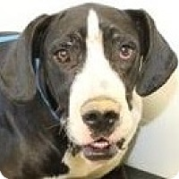 Adopt A Pet :: Lady Guinevere - Silver Spring, MD