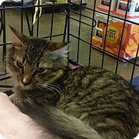 Maine Coon Kitten for adoption in Marietta, Georgia - Liam