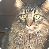 Adopt A Pet :: Fluff - Trinidad, CO