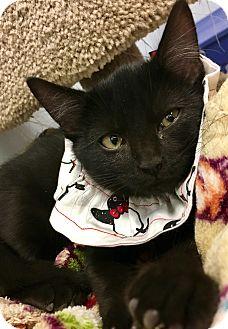 Domestic Shorthair Kitten for adoption in St. Louis, Missouri - Gus