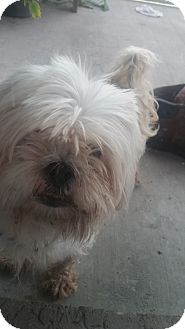 Lhasa Apso Dog for adoption in Cape Coral, Florida - Gizmo
