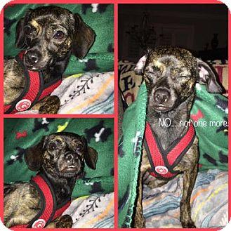 Dachshund/Chihuahua Mix Dog for adoption in greenville, South Carolina - Carolina