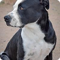 Adopt A Pet :: Diego - Gilbert, AZ
