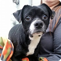 Pug/Chihuahua Mix Dog for adoption in Shinnston, West Virginia - Jackie