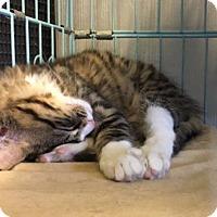 Adopt A Pet :: Nessie - Plano, TX