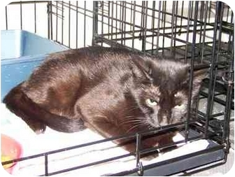 Domestic Shorthair Cat for adoption in Syracuse, New York - Carisma