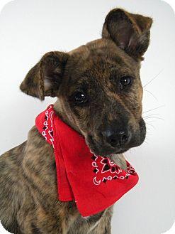Boxer/Labrador Retriever Mix Puppy for adoption in Monteregie, Quebec - Jasper