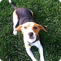 Adopt A Pet :: Lena - Novi, MI