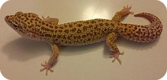 Gecko for adoption in Lake Forest, California - Leopard Gecko #3