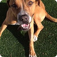 Adopt A Pet :: Zoey - Encino, CA