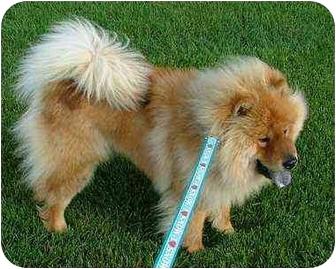 Chow Chow Dog for adoption in Columbus, Ohio - Leo