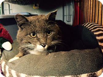 Domestic Shorthair Cat for adoption in Alden, Iowa - Dozier
