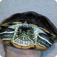 Turtle - Other for adoption in Markham, Ontario - Squirtle