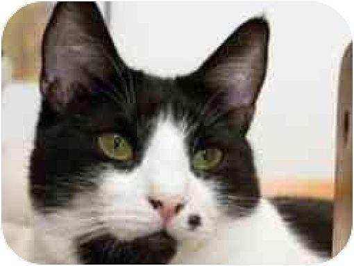 Domestic Shorthair Cat for adoption in Pasadena, California - Marie