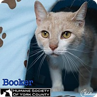 Adopt A Pet :: Booker - Fort Mill, SC