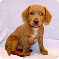Adopt A Pet :: 16-d05-013 Elite - Fayetteville, TN