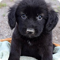 Adopt A Pet :: Suki Pup - Mako - San Diego, CA