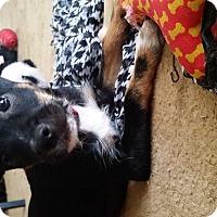 Adopt A Pet :: Pippa - E. Greenwhich, RI
