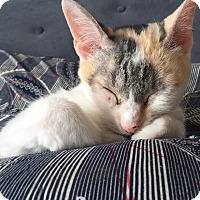Domestic Shorthair Cat for adoption in THORNHILL, Ontario - Kaax