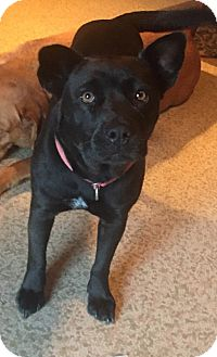 french bulldog rescue wi bear bear adopted dog milwaukee wi french bulldog mix 4413