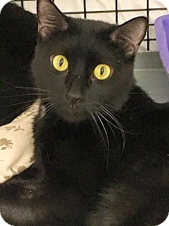 Domestic Shorthair Cat for adoption in Acushnet, Massachusetts - Onyx & Amber