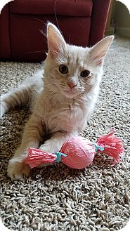 Domestic Longhair Kitten for adoption in Homewood, Alabama - Mercury