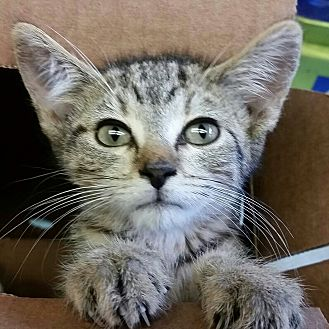 Domestic Shorthair Kitten for adoption in Ocala, Florida - Misty 12 wks