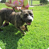 American Staffordshire Terrier Mix Dog for adoption in Windsor, Virginia - Lexi
