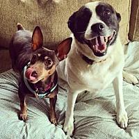 German Shorthaired Pointer Mix Dog for adoption in Milwaukee, Wisconsin - Ravishing Roxie