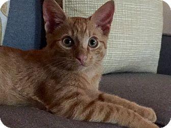 Domestic Shorthair Kitten for adoption in Arlington, Virginia - Kovu & Petey- Adoption Pending