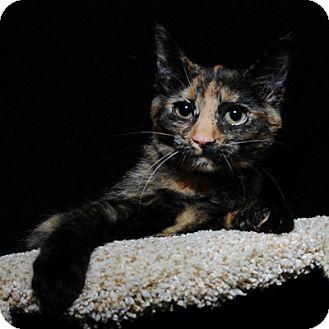 Domestic Shorthair Kitten for adoption in Mississauga, Ontario, Ontario - Nermal