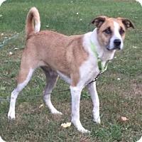 Adopt A Pet :: HANNAH BELLE - Albany, NY