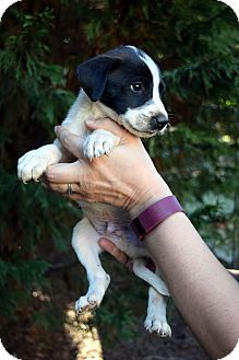 Beagle/Labrador Retriever Mix Puppy for adoption in Bayshore, New York - Bert