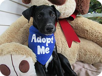 Labrador Retriever Mix Puppy for adoption in Baltimore, Maryland - Hogan