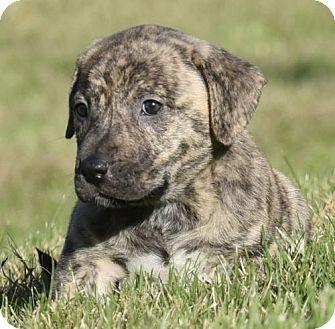 Mastiff/Shepherd (Unknown Type) Mix Puppy for adoption in Mechanicsburg, Pennsylvania - Fabio